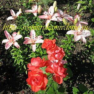 Алые розы и лилии