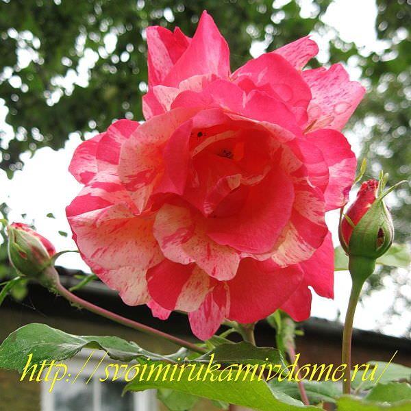 Цветники своими руками – фото. Пёстрая роза