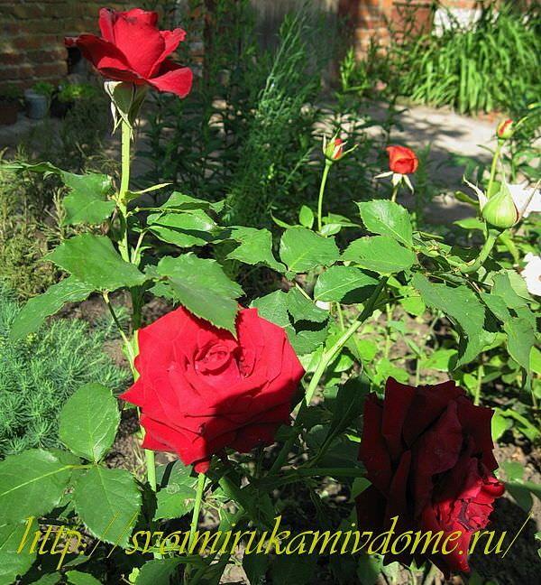 Цветники своими руками – фото. Роза