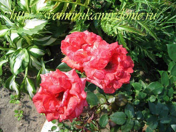 Цветники своими руками – фото. Розы и хоста