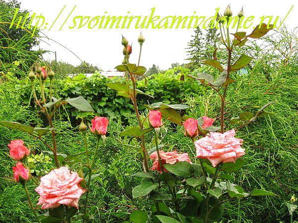 Цветники своими руками – фото. Розы
