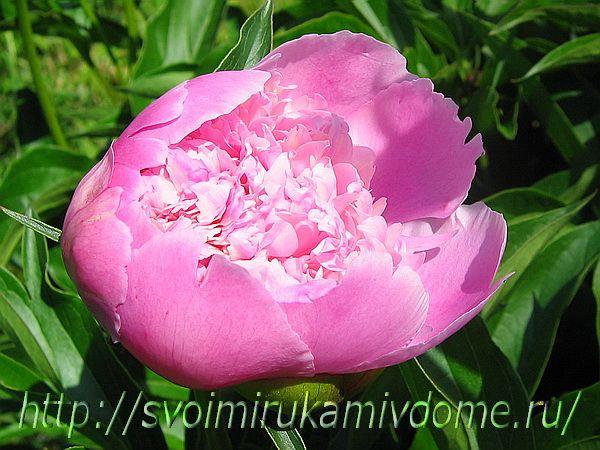 Розовый пион распускается