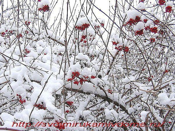 Калина обыкновенная зимой