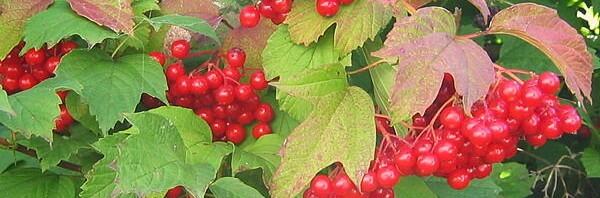 Калина-ягода у дома. Калина обыкновенная