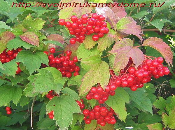 Калина ягода — полезные свойства