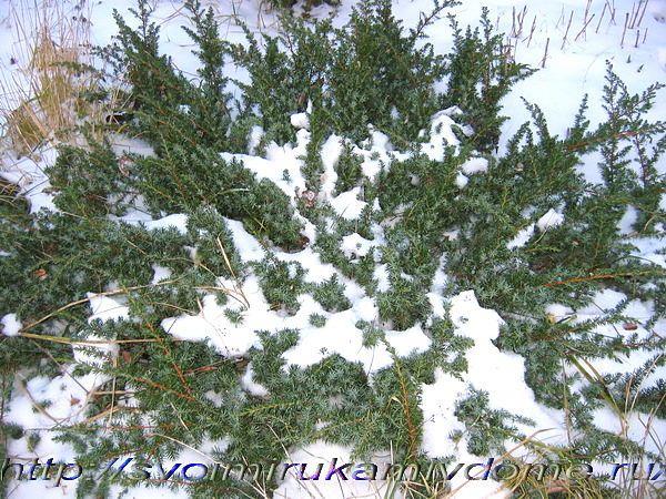 Можжевельник стелющийся Мейери зимой