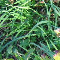 пырей ползучий, трава