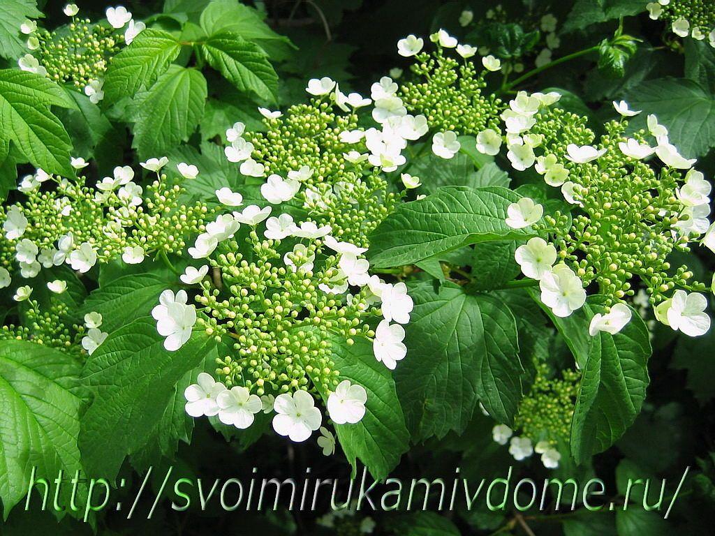 Бутоны и цветки калины