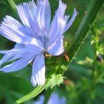 Цикорий - травянистое растение