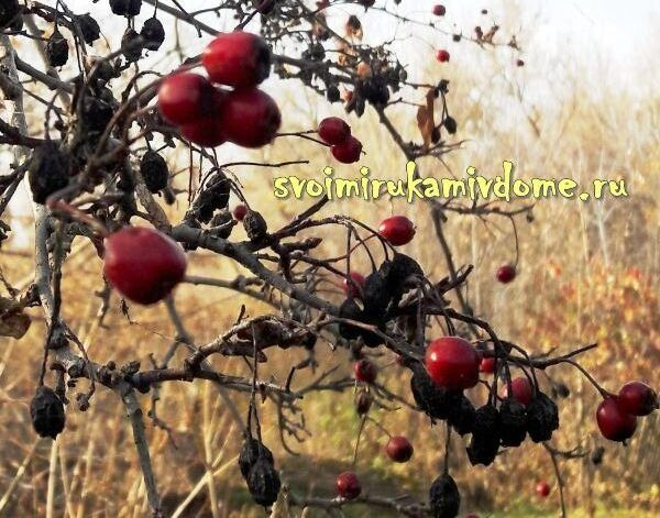 Плоды боярышника алма-атинского