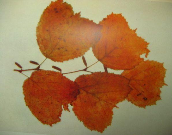 Лещина разнолистная Дальневосточный вид