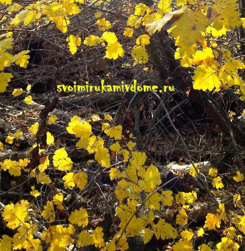 Жёлтые листья боярышника алма-атинского
