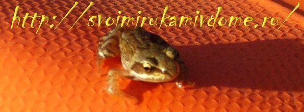 Лягушонок остромордой лягушки