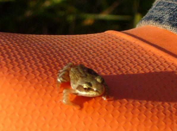Лягушки и жабы, размножение