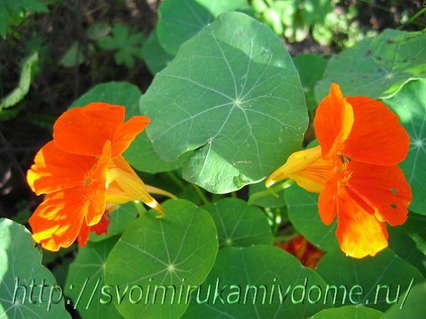 Настурция, 2 оранжевых цветка