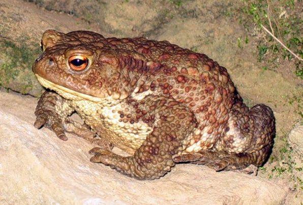 Серая жаба, что едят жабы