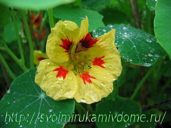Цветок настурции, дождь прошёл