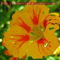 Цветок настурции жёлтый с красным