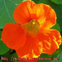 Цветок настурции оранжевый
