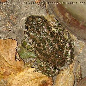 Зелёная жаба у стены