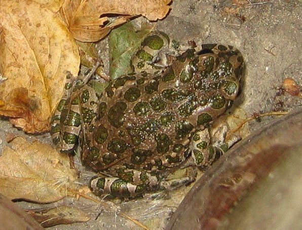 Зелёная жаба, дыхание земноводных