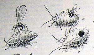 Наездник афелинус, полезные насекомые