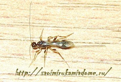 Полезное насекомое наездник в доме