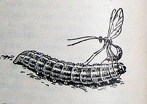 Паниск откладывает яйца на гусеницу
