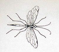Паниск - полезное насекомое наездник