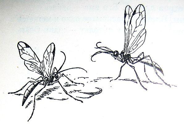 Паниски - полезные насекомые наездники