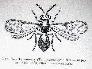 Теленомус, полезные насекомые