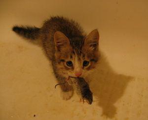 Котёнок с мышкой, 2 месяца