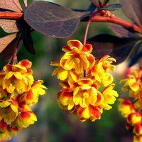 Цветки барбариса Тунберга весной