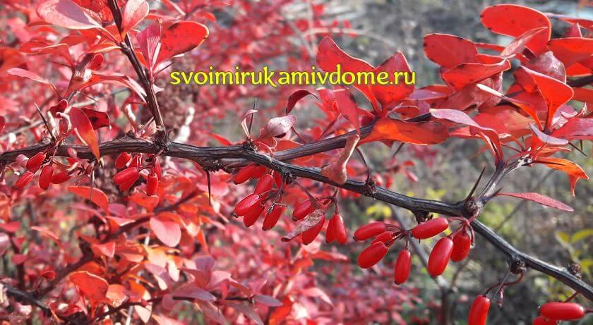 Ягоды барбариса Тунберга осенью