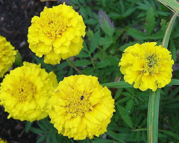 Бархатцы отклонённые жёлтые