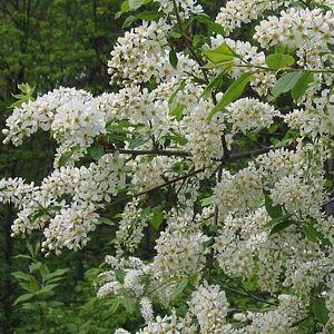 Черёмуха обыкновенная цветёт весной