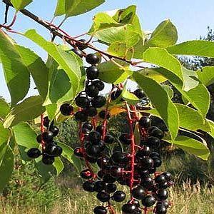 Черёмуха обыкновенная, спелые ягоды