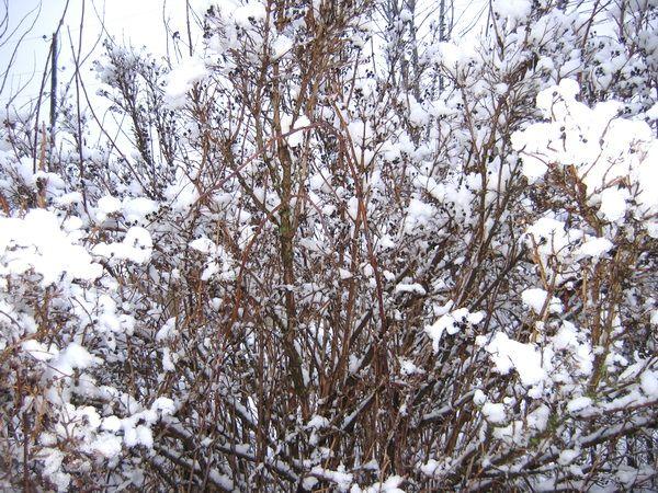 Чубушник ранней зимой