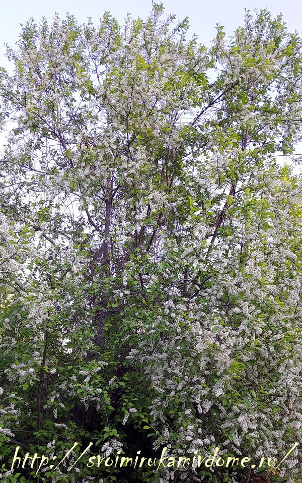 Дерево черёмухи в моём саду