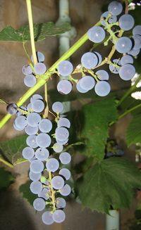 грозди винограда.
