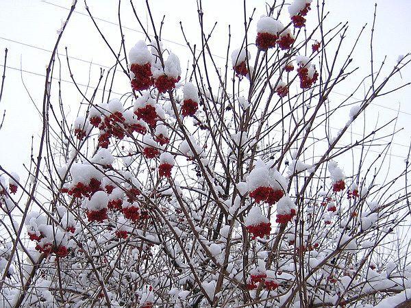 Калина ранней зимой