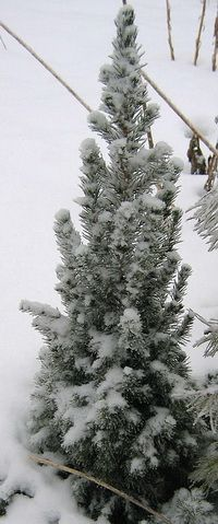 Маленькая ель-коника зимой
