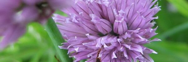 Шнитт-лук цветёт, шмель