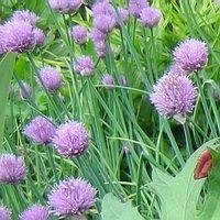 Лук-шнитт, цветёт