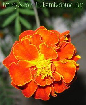 Цветок бархатца