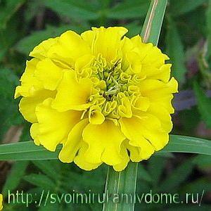 цветок бархатца отклонённого