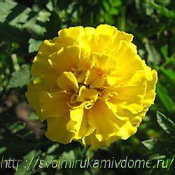 Цветок бархатца жёлтого