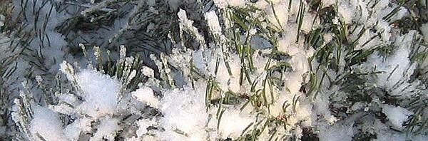 Хвойные растения — украшение участка зимой