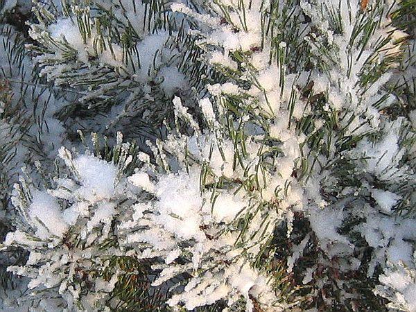 Ветки сосны горной зимой