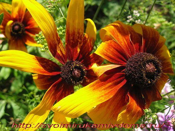 Рудбекия, цветы